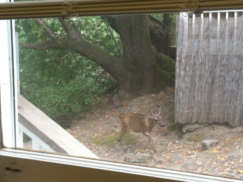 Deer in yard 004