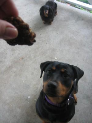 Dog_cookies_007