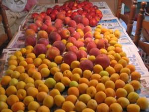 Apricot_picking_017