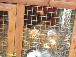 Chickens_005_2