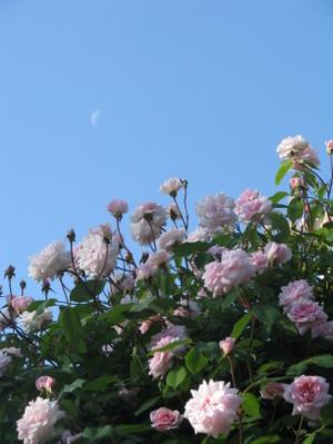 Roses_021