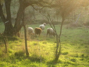 Sheep_in_the_meadow